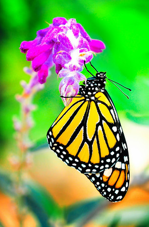 """First Flight"". A Monarch butterfly, just born, only a few hours old, drying it's virgin wings as it sets up it's first flight."