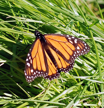 Monarch Butterfly, Santa Cruz, CA.