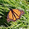 Monarch Butterfly, Santa Cruz, CA.