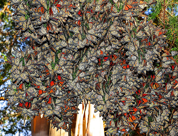 """Flutter Clutter"". Monarch Butterfly's cluster together in Santa Cruz's cypress branches."