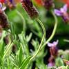 DSC_0024 lavendar cropped 4x6