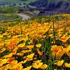California poppy field, lower Sierra Nevada foothills in March.