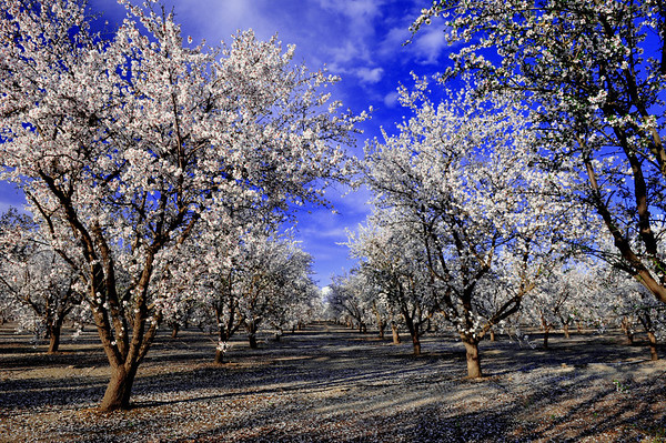 Almond trees in full bloom, Blossom Trail in early March outside of Sanger, CA.