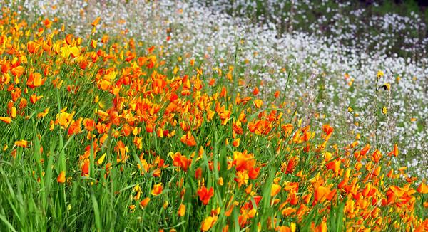 California poppies and wildflowers on hillside, lower Sierra Nevada foothills, CA.