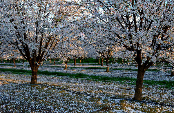 Afternoon light fall on almond trees in full bloom. Blossom Trail in early March, Delano County ,CA.