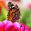DSC_0670 butterfly
