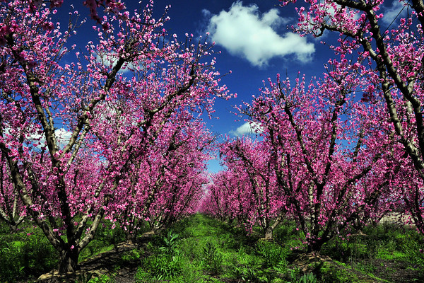 Nectarine trees in full bloom, Blossom Trail in early March outside of Sanger, CA.