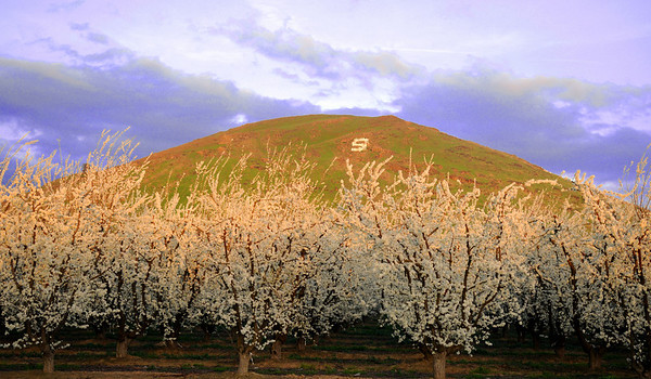 "Plum trees in full bloom flowering below the ""Sanger"" foothill, outside Sanger, CA."