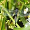Common Skimmer - Fam. Libellulidae