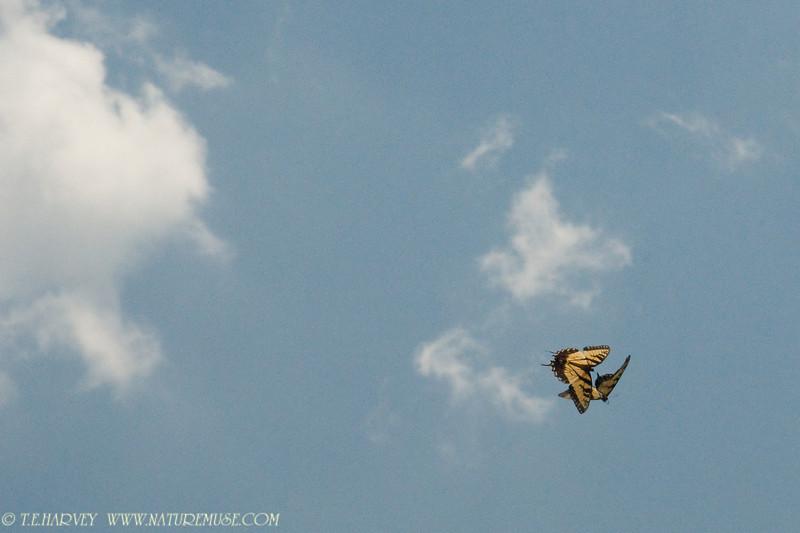 Butterflies Frolicking