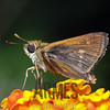 Skipper<br /> Raleigh, North Carolina, USA