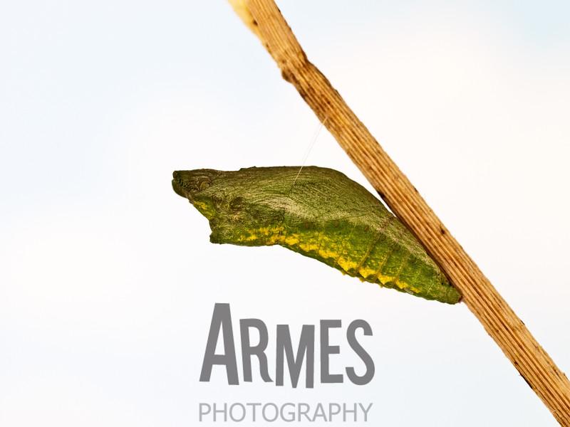 Pupa of black swallowtail, Papilio polyxenes (Lepidoptera: Papilionidae)<br /> Raleigh,North Carolina