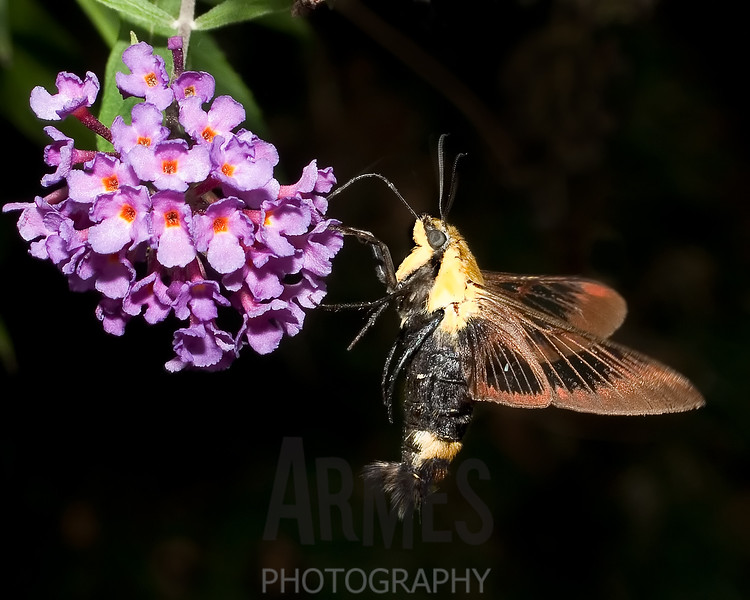 Hummingbird Moth (Hemaris thysbe)<br /> Raleigh, North Carolina, USA