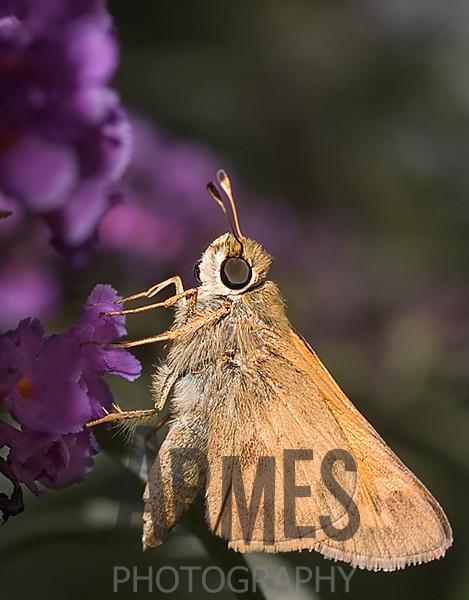 Skipper (Quasimellana eulogius)<br /> Raleigh, North Carolina, USA