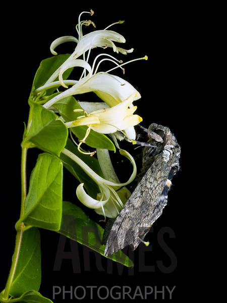 Tobacco Hornworm/Carolina Sphinx (Manduca sexta)