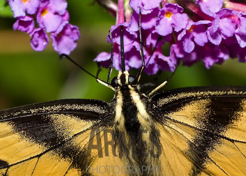 Eastern Tiger Swallowtail (Papilio glaucus)<br /> Raleigh, North Carolina, USA