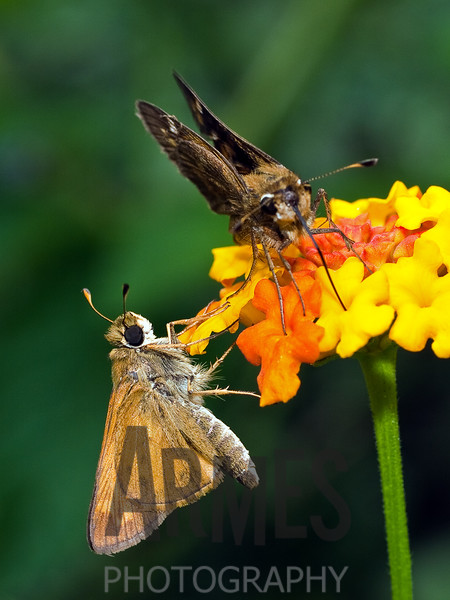 Skippers (Euphyes sp.) - male & female<br /> Raleigh, North Carolina, USA