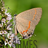 Red-banded Hairstreak (Calycopis cecrops)<br /> Raleigh, North Carolina, USA