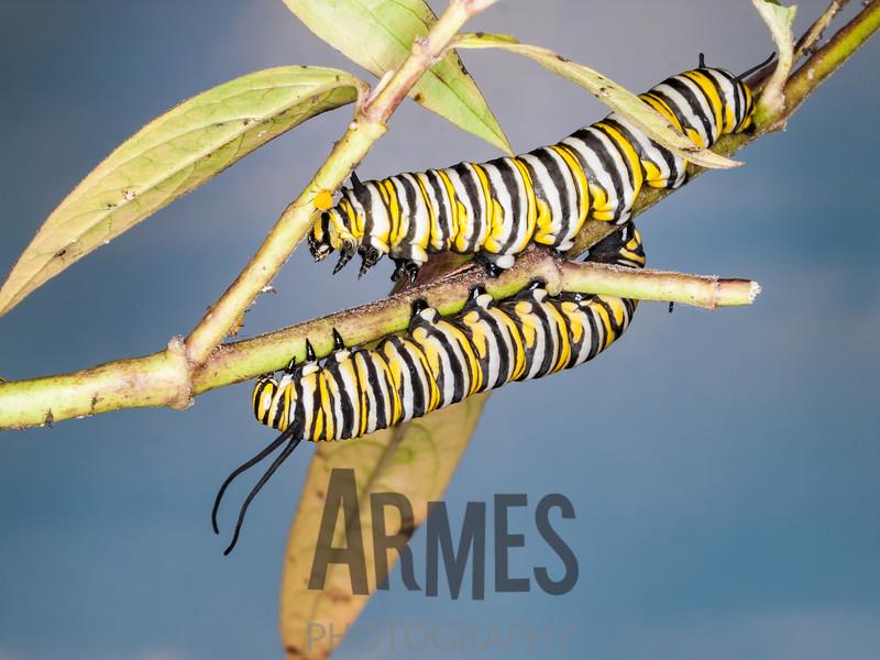 Monarch caterpillar (Danaus plexippus)