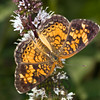 Pearl Crescent  (Phyciodes tharos)<br /> Raleigh, North Carolina, USA