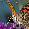 American Lady  (Vanessa virginiensis)<br /> Raleigh, North Carolina, USA