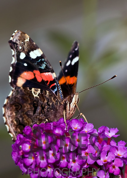 Red Admiral (Vanessa atalanta)<br /> Raleigh, North Carolina, USA