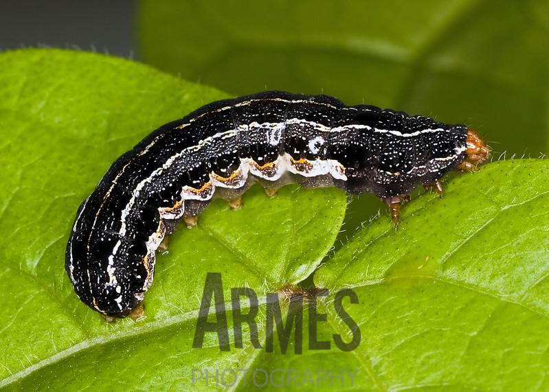 Southern armyworm (Spodoptera eridania) - caterpillar