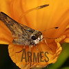 Skipper (Quasimellana eulogius)<br /> Raleigh, North Carolina, USA