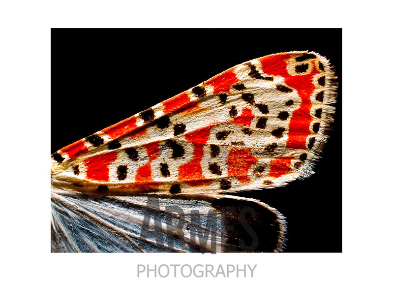 Rattlebox (Bella Moth) - Utetheisa ornatrix