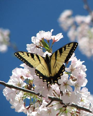 Butterflies Spring 2009