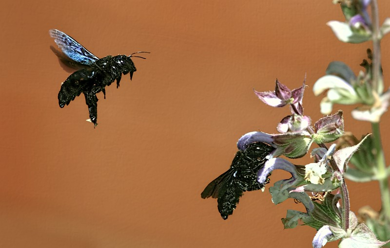 Carpenter Bees