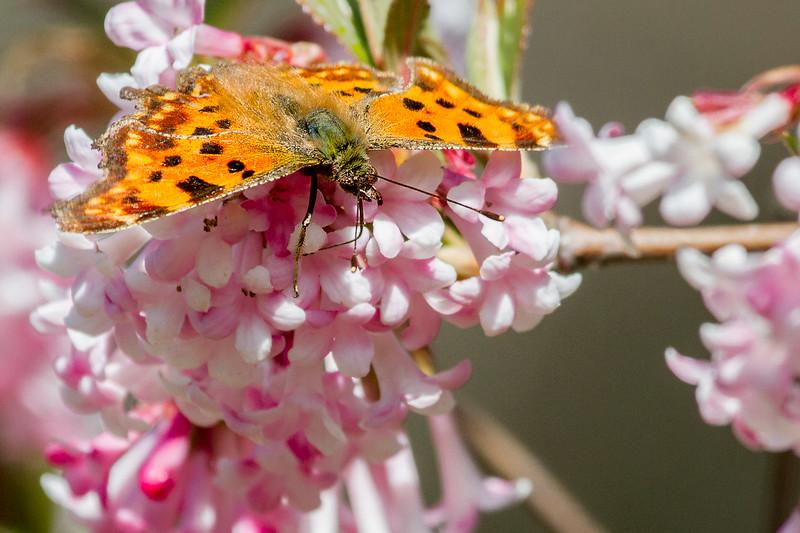 European Comma Butterfly