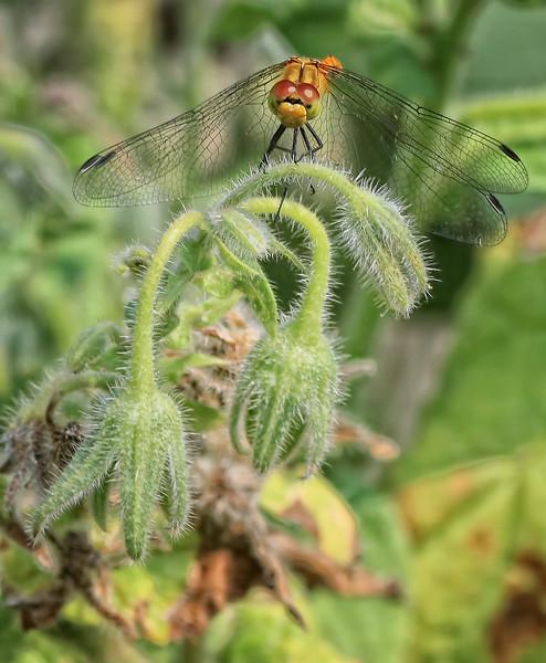 Marshland Darter As seen in our garden on a borrage plant
