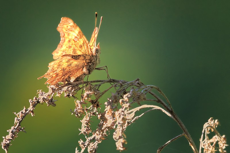 Backlit Butterfly