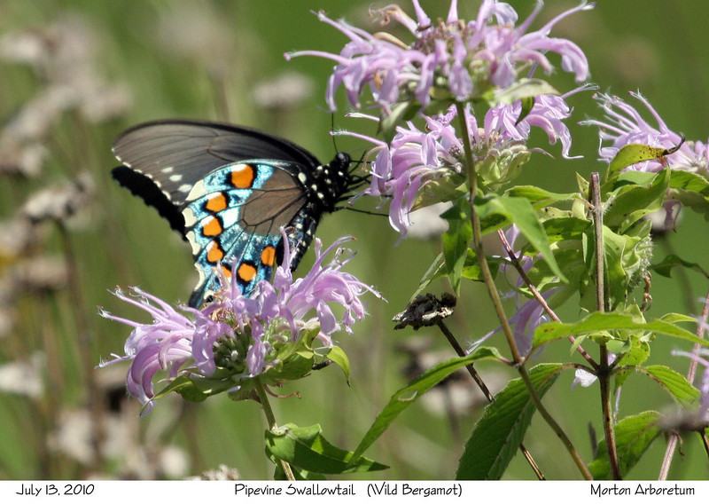 Pipedvine Swallowtail