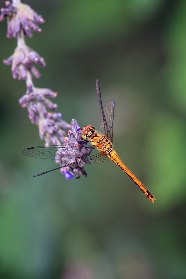 Marshland Darter