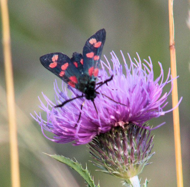 Six spot burnet moth