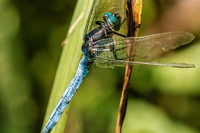 Blue Darter