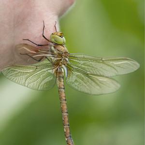 Friendly Dragonfly