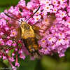 Hummingbird Moth<br /> <br /> This photograph is protected by the U.S. Copyright Laws and shall not to be downloaded or reproduced by any means without the formal written permission of Bob Arkow Photography.