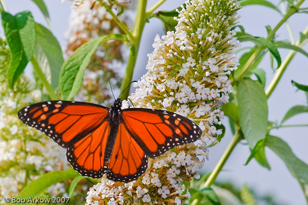 Monarch Butterfly on Butterfly Bush<br /> <br /> <br /> This photograph is protected by the U.S. Copyright Laws and shall not to be downloaded or reproduced by any means without the formal written permission of Bob Arkow Photography.