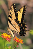 Eastern Tiger Swallowtail<br /> Apopka, Florida<br /> 79-6356ll
