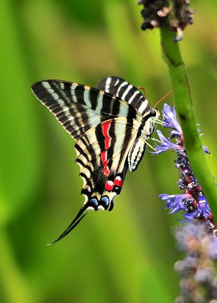 Zebra Swallowtail<br /> Viera, Florida<br /> 046-3750a