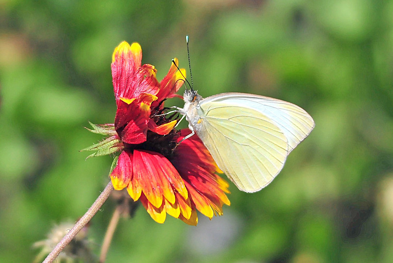 Great Southern White on an Indian Blanket<br /> Merritt island, Florida<br /> 031-8808a