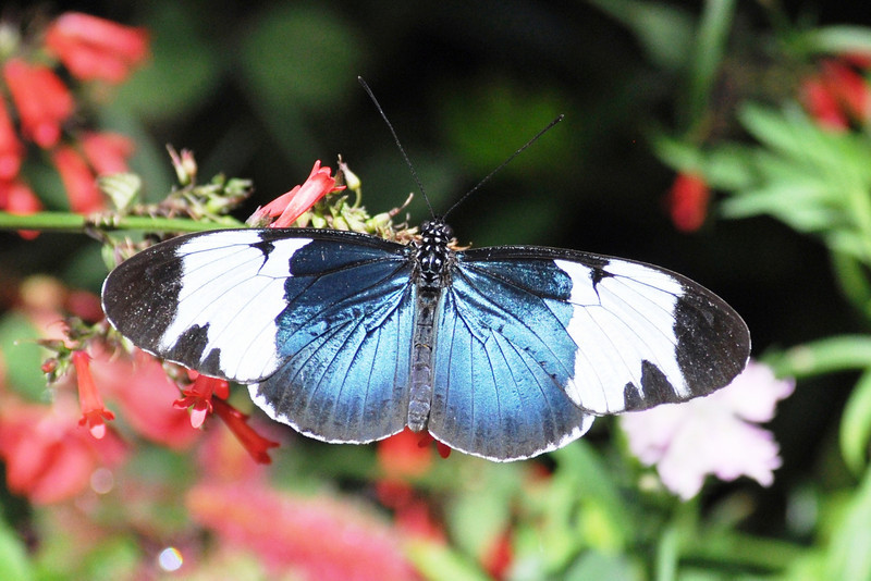Cyndo Longwing<br /> UF Butterfly Rainforest<br /> Gainesville, Florida<br /> 34-0220b