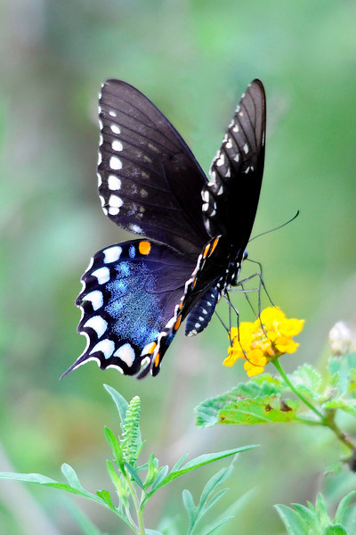 Spicebush Swallowtail<br /> Lake Helen, Florida<br /> 131-8493c