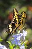 Giant Swallowtail<br /> Merritt Island, Florida<br /> 100-0192