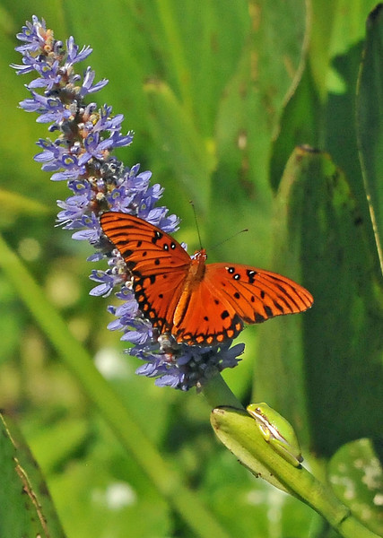 Gulf Fritillary and Green Tree Frog<br /> Viera, Florida<br /> 148-1861c