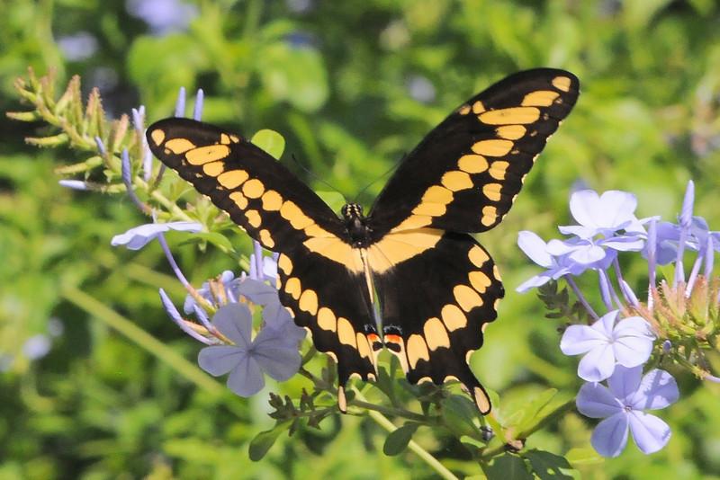 Giant Swallowtail<br /> Merritt Island, Florida<br /> 100-0245l
