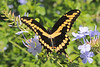 Giant Swallowtail<br /> Merritt Island, Florida<br /> 100-0245l